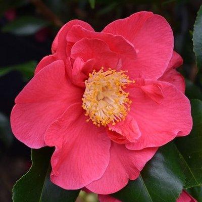 Camellia japonica Doctor King