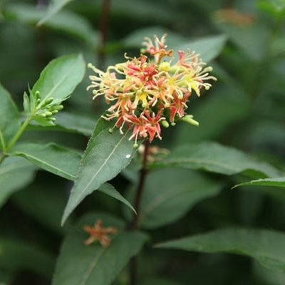 Diervilla sessilifolia Butterfly