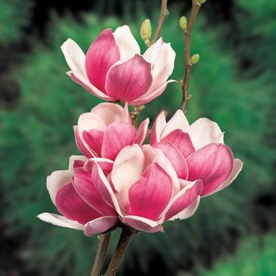Magnolia Satisfaction
