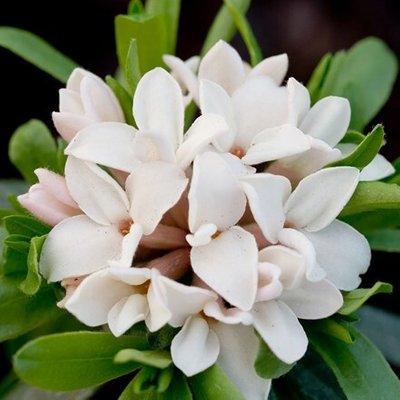 Daphne transatlantica Eternal Fragrance (