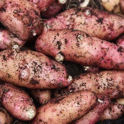 potato Pink Fir Apple