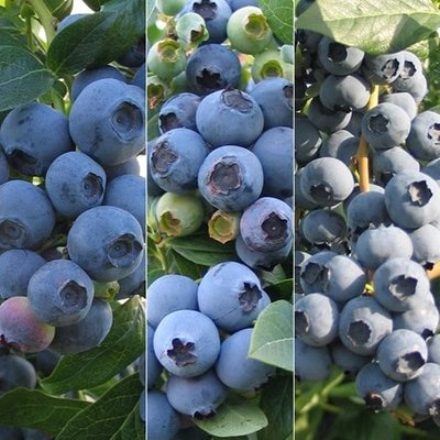 Extend the season blueberry collection