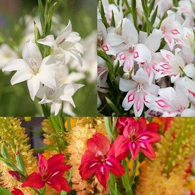 Gladiolus miniatures collection