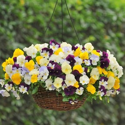 Pansy Cool Wave F1 Mixed