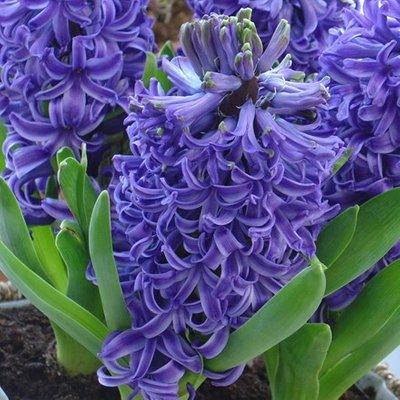 Hyacinthus orientalis Blue Pearl (PBR)