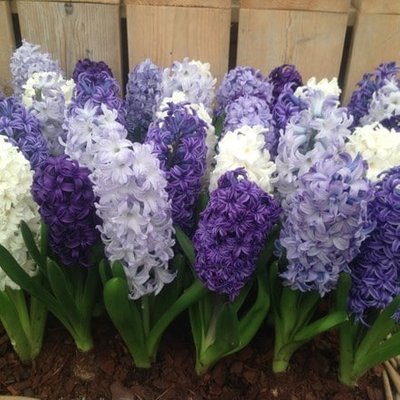 Cool shades garden hyacinth collection