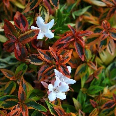 Abelia grandiflora Kaleidoscope (PBR)