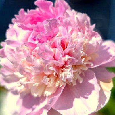 Paeonia lactiflora Angel Cheeks