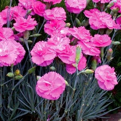 Dianthus Tickled Pink (