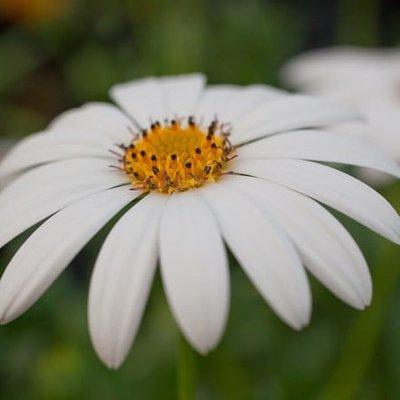 Osteospermum Snow Pixie