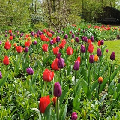 Royal tulip collection