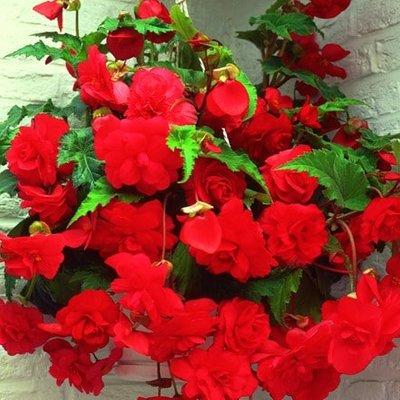 Begonia Red Glory