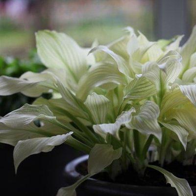 Hosta White Feather (undulata)