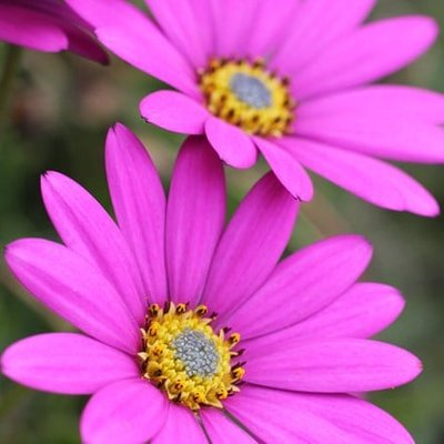 Osteospermum In The Pink