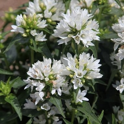 Campanula glomerata var. alba Schneekrone
