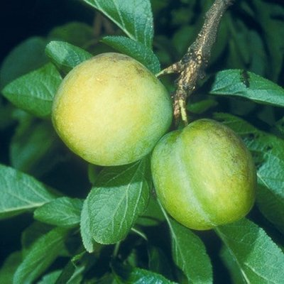 greengage Oullins Gage