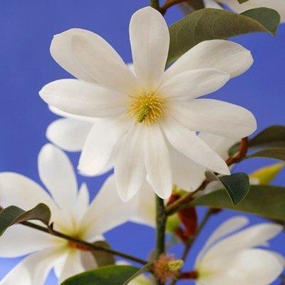 Magnolia Fairy Magnolia White