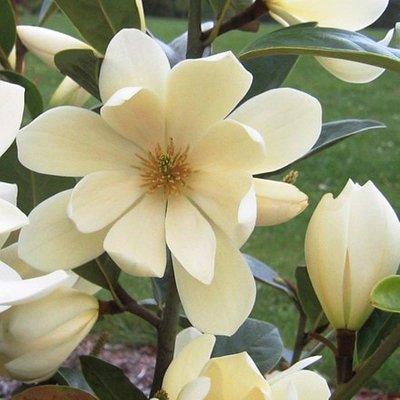 Magnolia Fairy Cream (