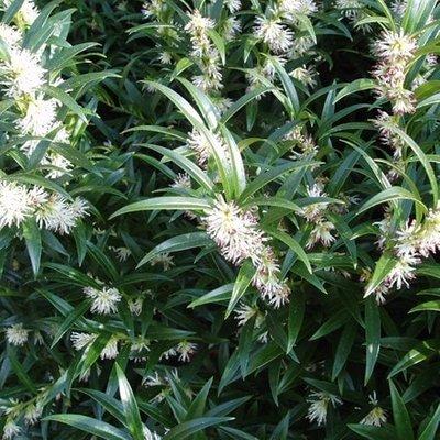 Sarcococca hookeriana var. hookeriana