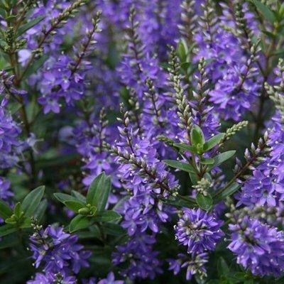 Hebe Garden Beauty Blue (