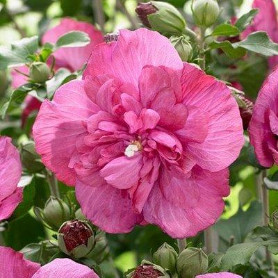 Hibiscus syriacus Magenta Chiffon (