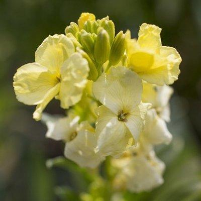 wallflower Primrose Dame