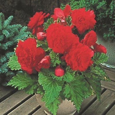 Begonia Vibrant Star