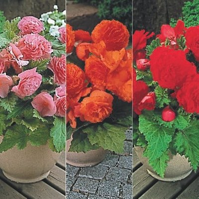 Star begonia collection