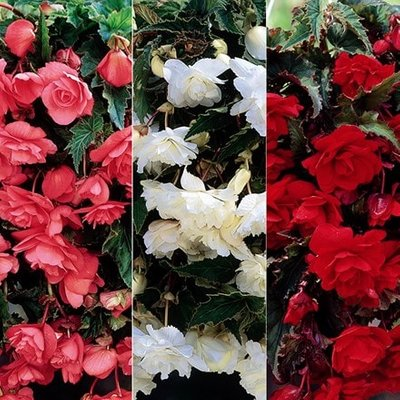 Begonia collection for Hanging baskets & pots