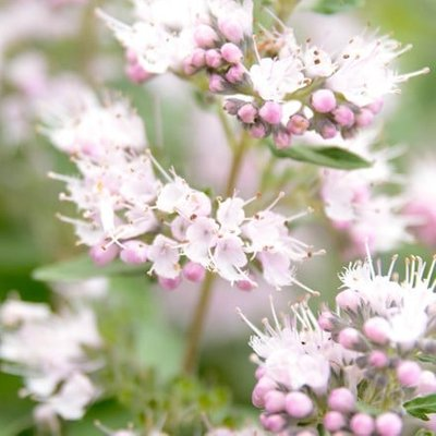 Caryopteris clandonensis Pink Perfection (