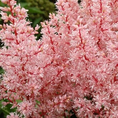 Astilbe Look At Me (PBR) ( arendsii)
