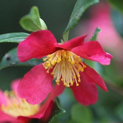 Camellia vernalis Yuletide