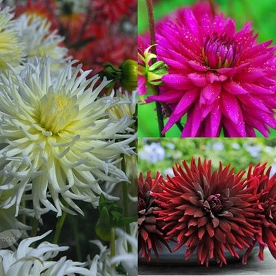 Cactus dahlia collection
