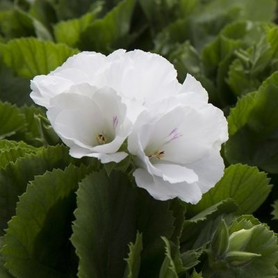 Pelargonium Don Palido (PBR)