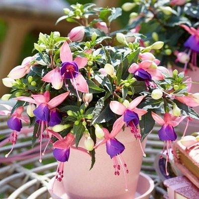 Fuchsia Mariska (
