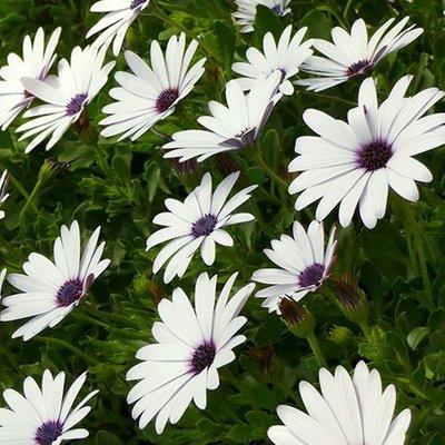 Osteospermum Flowerpower Ice White (
