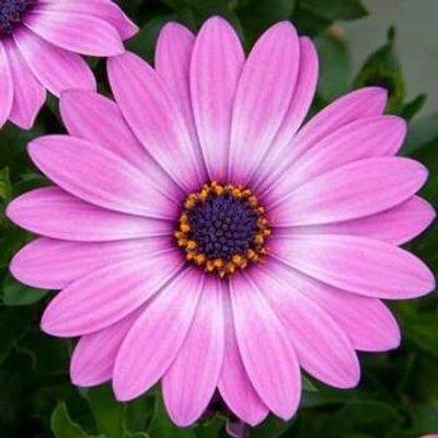 Osteospermum Lavender Pink (