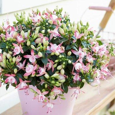 Fuchsia Sophia (PBR) (Bella Series)