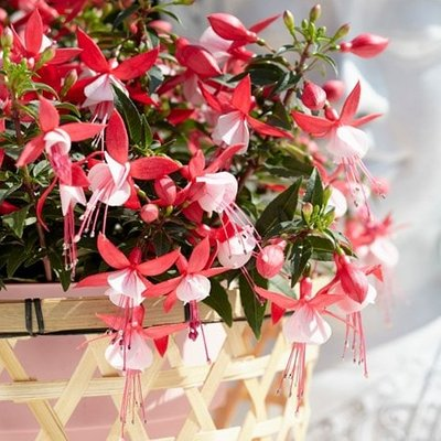 Fuchsia Evita (PBR) (Bella Series)