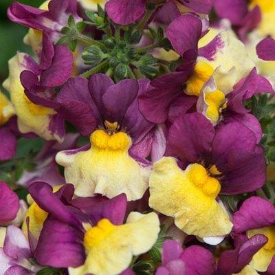 Nemesia Aroma Rhubarb and Custard (Aroma Series)