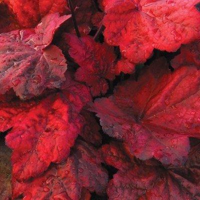 Heuchera Autumn Leaves (PBR)