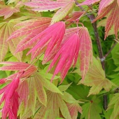Acer shirasawanum Moonrise (
