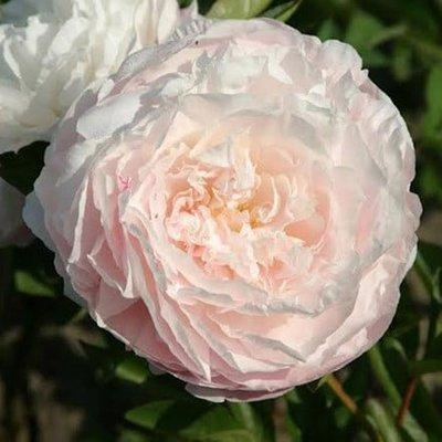 Paeonia lactiflora Mother
