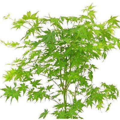 Acer palmatum Going Green (