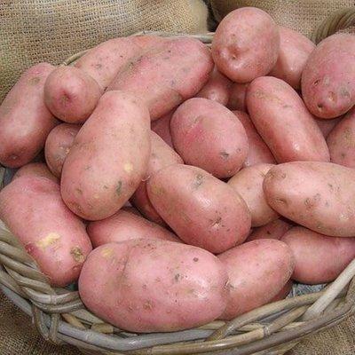 potato Sarpo Mira (PBR)