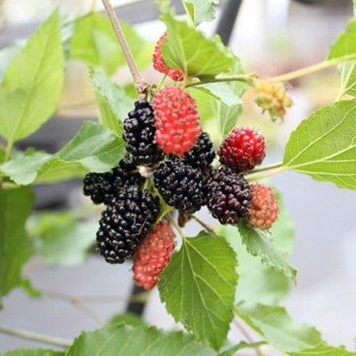 dwarf mulberry Mojo Berry (