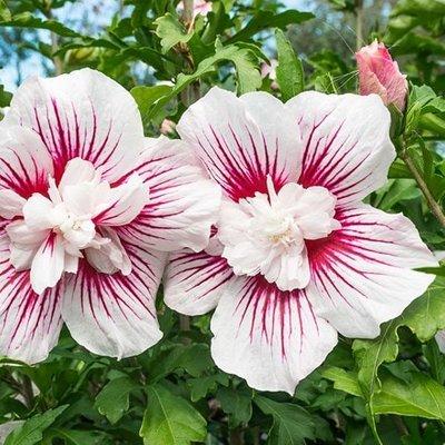 Hibiscus syriacus Starburst Chiffon (