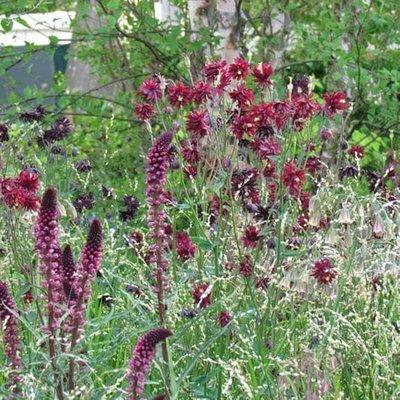 Aquilegia and Lysimachia plant combination