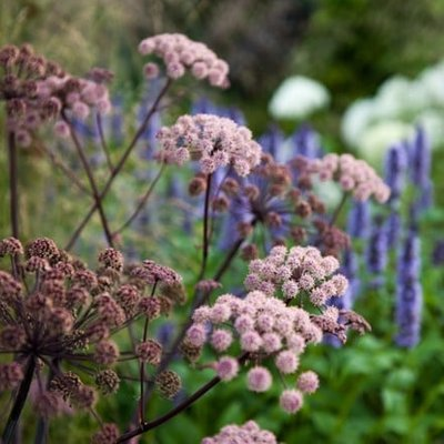Agastache and Angelica plant combination