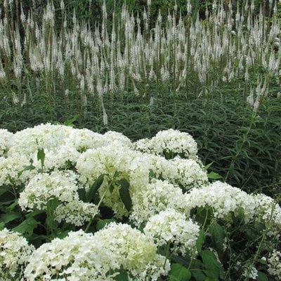 Veronicastrum and Hydrangea plant combination
